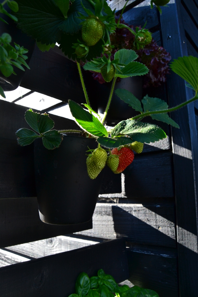 og her er det jordbær Tobias har udset sig. Det mangler lige det sidste før det er helt perfekt.